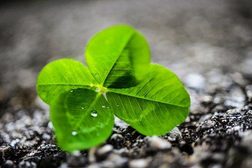 Four Leaf Clover, Nature, Rain