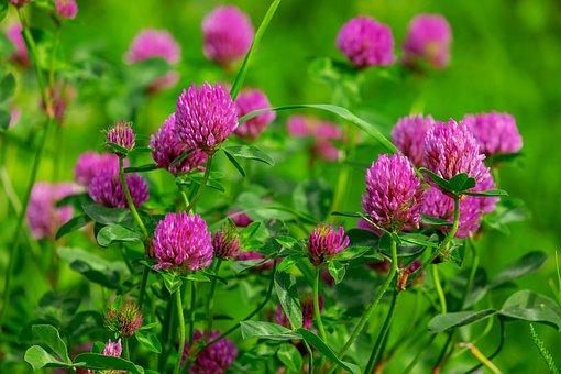 Klee, Blossom, Bloom, Purple, Red Clover