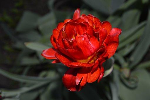Flower, Red Flower, Beautiful Flower, Garden Flower