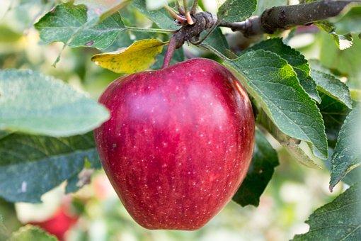 Apple, Apple Tree, Fruit, Red, Health