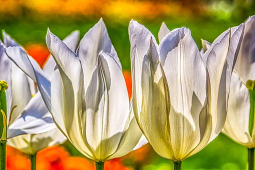 Plant, Nature, Tulips, Blossom, Bloom, Calyx, Structure
