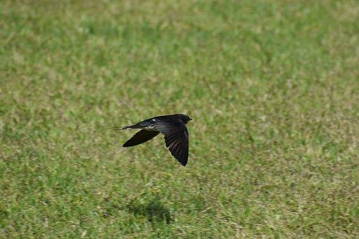 Animal, Park, Lawn, Bird, Wild Birds, Yan, Swallow