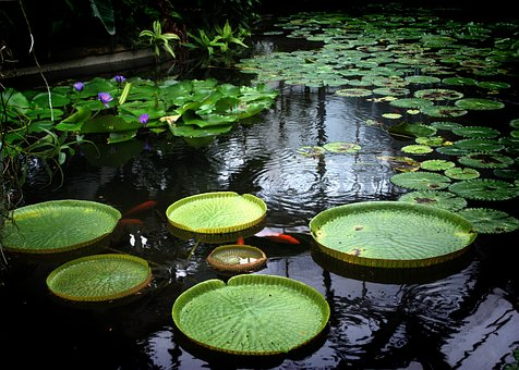 Waterlily, Lake, Water-plant