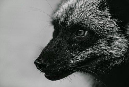 Fox, Foxes, Vulpes, Silver Fox, Black Fox, Animal, Wild