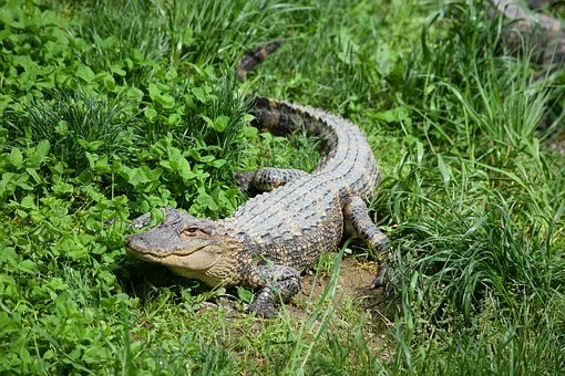 Alligator, Zoo, Crocodile, Wild, Nature, Green, Danger