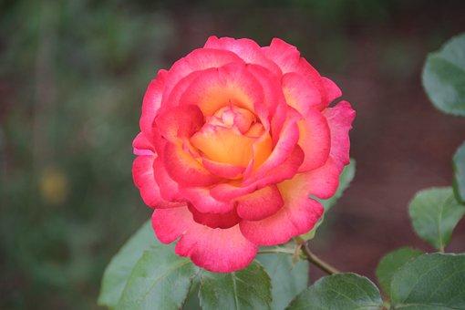 Rosebush, Pink, Yellow Rose, Flowering Rose Bush