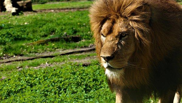 Lion, Zoo, Feline, Animal, Africa, Nature, Tawny, Mane