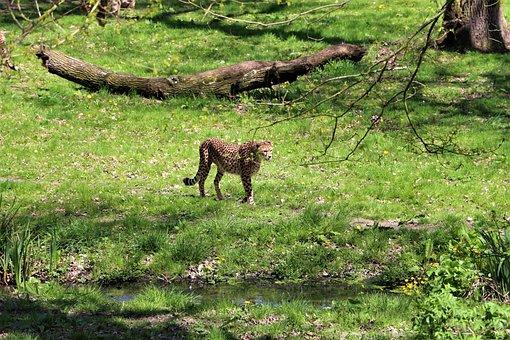 Cheetah, Zoo, Animal, Africa, Feline, Wild Animal