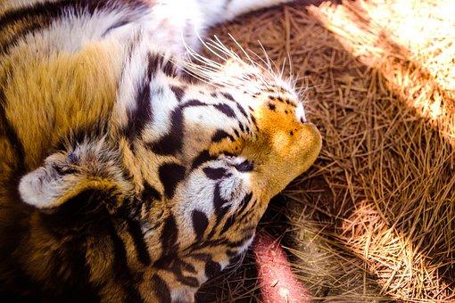 Tiger, Nap, Zoo, Animal, Cat, Predator, Mammal