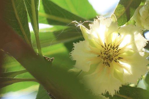 Water Stone Banyan, 綻, Flower, Plant