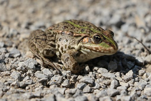 Nature, Frog, Amphibian, Animal World, In The Free