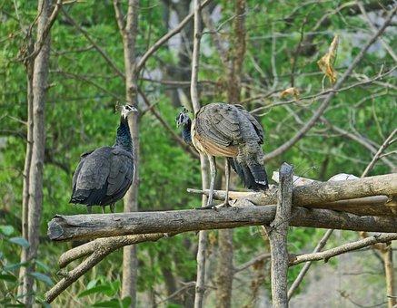 Peahen, Peacock, Birds, India, Bharat, Banswara