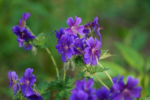 Flower, Plant, Blossom, Bloom, Nature, Purple Flower