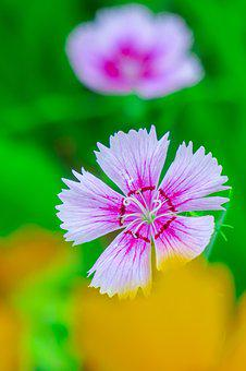 Dianthus, Flower, Plant, Light, Fresh, Bloom