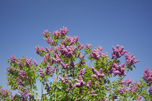 Lilac, Purple, Blossom, Bloom, Spring, Bloom, Bush