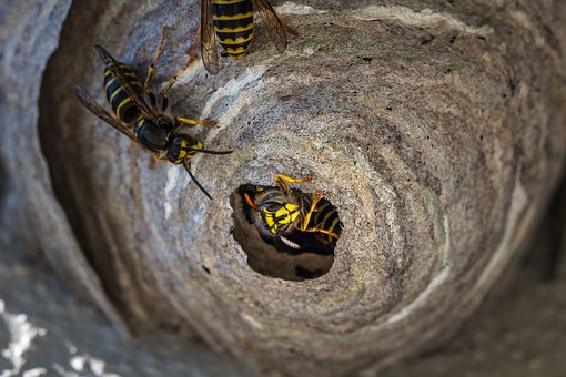 Wasp, Insect, Animal, Sting, Nature, Macro, Nest, Close