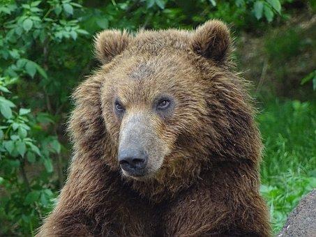 Bear Kamchatka, Zoo Brno, Animals, Dangerous, Beast