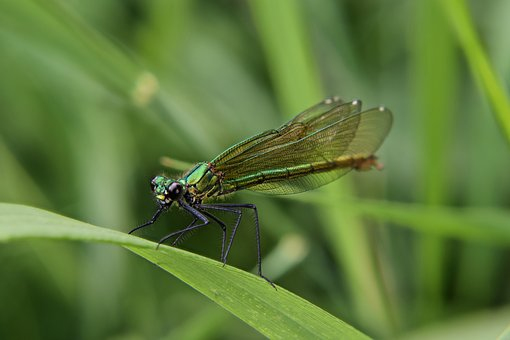 Dragonfly, Early Heath Dragonfly, Macro, Nature, Insect