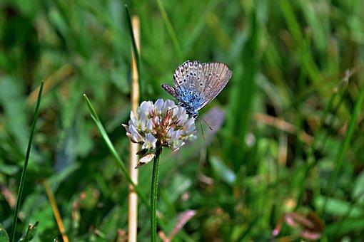 Field Bloom, Meadow Flowers, Clover, Butterfly, Meadow