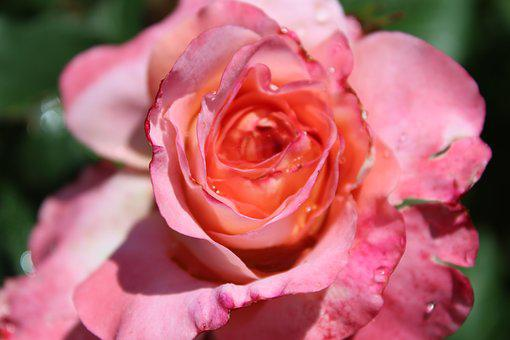 Rose, Pink Roses, Floribunda, Rose Bloom, Flower