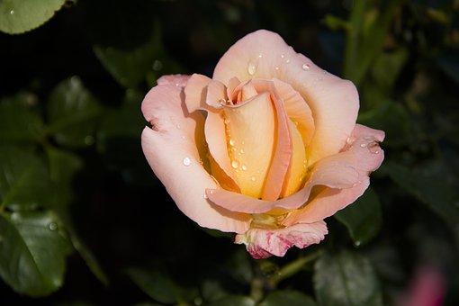 Rose, Flower, Beautiful Flower, Nature, Yellow Rose