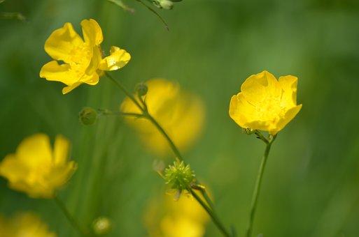 Fields, Buttercups, Nature, Spring, Flower, Yellow