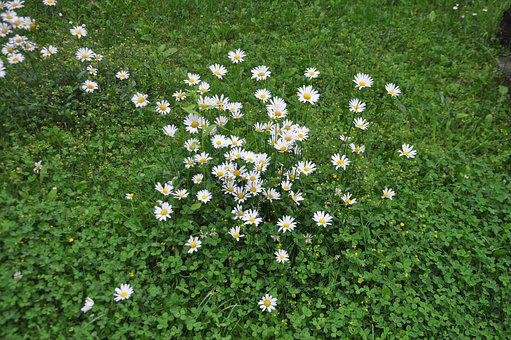 Marga Renon, Large Daisies, Flower, In The Grass