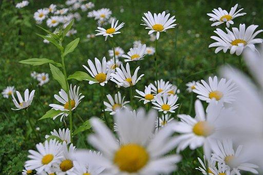 Marga Renon, Large Daisies, Flower, Blossom, Bloom