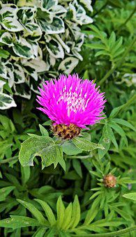 Flower, Knapweed, Pincushion Flower, Shrub, Hardy