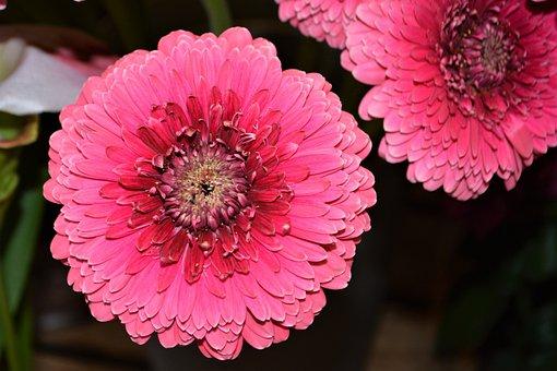 Pink Flower, Pink Gerbera, Gerbera, Pink, Flower