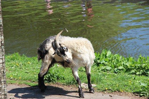 Goat, River, Quiet River, Animals, Nature