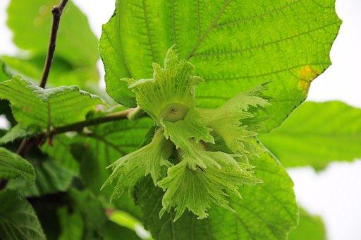Hazelnut, Official Hazelnut, Hazelnuts, Yesil Nuts