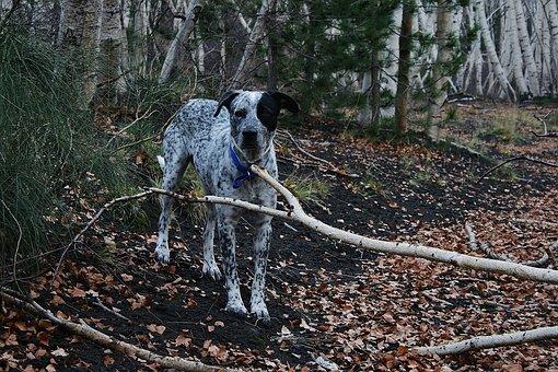 Dog, Hunting Dog, Attention, Pet, Pointer, Hybrid