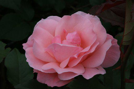 Rose, Rose Festival, Flowers, Jungnangcheon