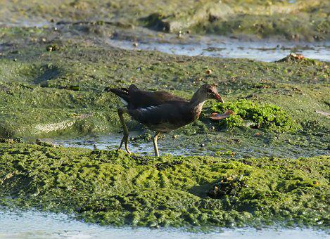 Juvenile, Common, Moorhen, Wild, Wildlife, Nature