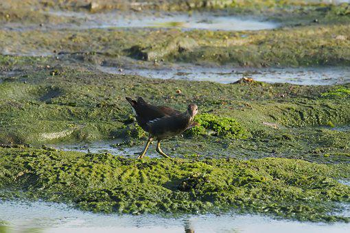 Bird, Young, Juvenile, Moorhen, Wild, Wildlife, Nature