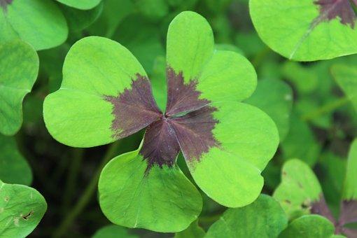 Luck, Four Leaf Clover, Lucky Clover, Klee, Lucky Charm