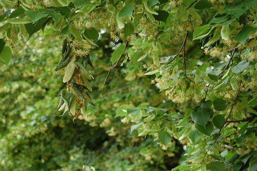 Linden, Linden Flowers, Nature, Tree, Leaf, Summer