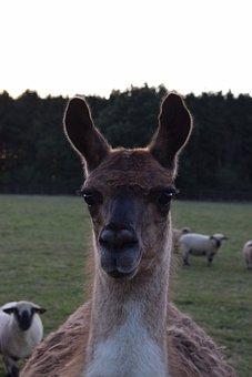 Llama, Animal, Nature, Mammal, Farm
