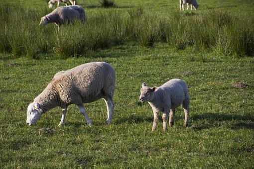 Sheep, Animal, Livestock, Nature, Meadow, Pasture