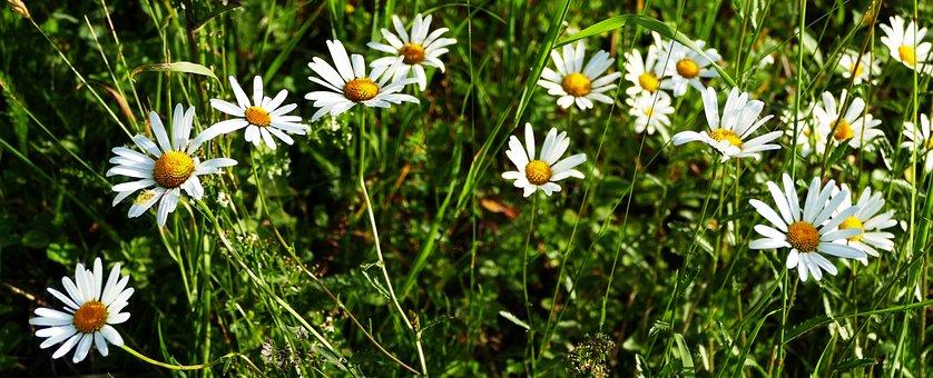Landscape, Nature, Meadow, Light, Marguerite, Sun