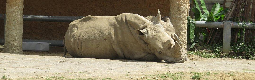 Nature, Fauna, Rhino, Animal