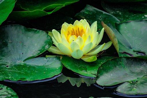 Lotus, Flower, Flowering, Nature