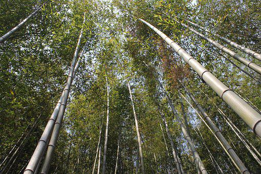 Bamboo, Vs Grove, Nature, Plants, Green