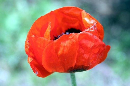 Poppy, Flower, Pistil, Nature, Botany