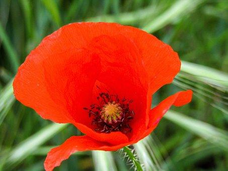 Poppy, Flower, Red, Nature, Beauty, Wild Flowers