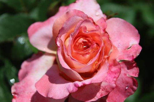 Rose, Pink, Pink Rose, Open Rose, Rose Bloom