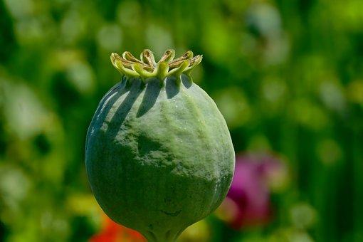 Poppy Capsule, Opium Poppy, Mohngewaechs