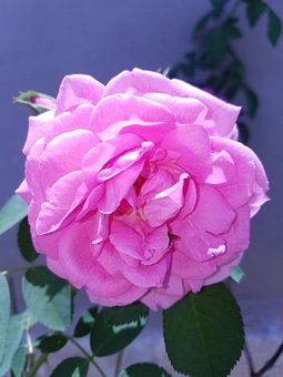 Flower, Rose, Outdoors, Closeup