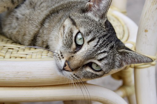 Cat, Domestic Cat, Funny, Pets, Curious, Chair, Animals